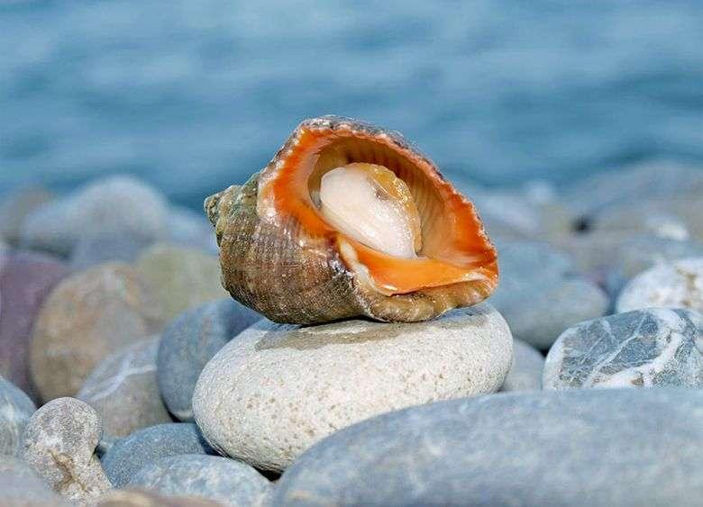 Картинки по запросу моллюск морской